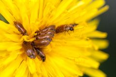 Many brown bugs have sex on yellow dandelion selective focus macro shot with shallow DOF.  Stock Photography