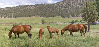 Many Brown Horses in Field Panorama royalty free stock images