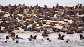 Many brown seals in wet sand Royalty Free Stock Image