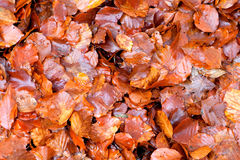 Many brown wet leaves Stock Image