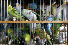 Many budgerigars in cage Stock Photography