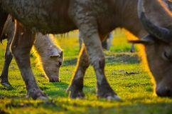 Many buffaloes are eating in a green field. royalty free stock images