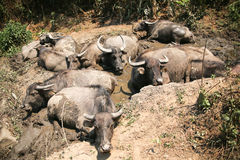 Many buffaloes lying on the mud. Stock Photography