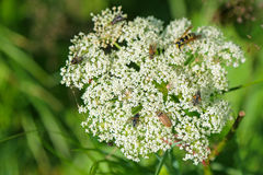 Many bugs, insects visiting Queen Anne s Lace white flowers Stock Photos