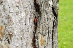 Many bugs on a tree. Many Pyrrhocoris apterus on a tree Royalty Free Stock Image