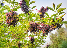 Many bunches of elderberries ripe for picking Stock Photography