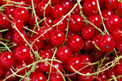 Many bunches of red currant Stock Images