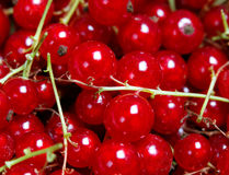 Many bunches of red currant Stock Photos