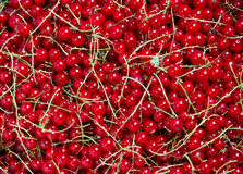 Many bunches of red currants Royalty Free Stock Images