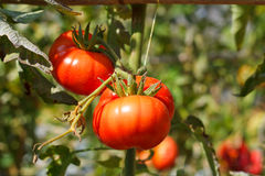 Many bunches with ripe red and unripe green tomatoes. Stock Image
