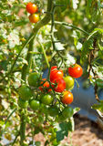 Many bunches with ripe red and unripe green tomatoes. Stock Photography