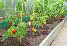 Many bushes of tomatoes in the greenhouse Stock Photo