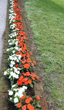 Many busy lizzie flowers in the flowerbed Stock Image