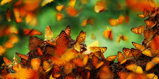 Many butterflies. Many beautiful butterflies flying over the ground and some standing on the ground Stock Photos