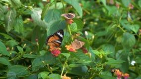 Many butterflies on flower stock footage