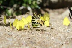 Many butterflies. Stock Photos