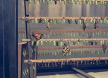 Many butterfly cocoons in diferent stages of development. Exibition of natural cycles royalty free stock images