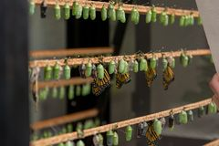 Many butterfly cocoons in diferent stages of development. Exibition of natural cycles stock photos