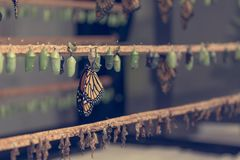 Many butterfly cocoons in diferent stages of development. Exibition of natural cycles stock image