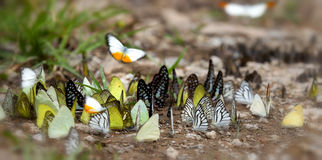 Many butterfly on the flow in the wild Royalty Free Stock Image