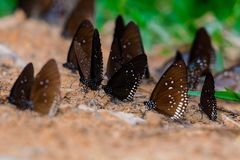 Butterfly diversity Many butterfly species Gathered. Royalty Free Stock Photos