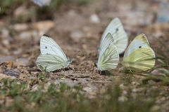 Many cabbage butterflies resting together (Pieris brassicae) Royalty Free Stock Photo