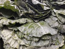 many cabbages stock photo
