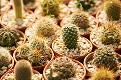 Many cacti in a nursery Stock Photo