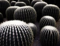 Many cactus balls covered by needle royalty free stock photo