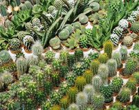 Many cactus in the pot are sort row on the table, Pink flower of cactus, Mammillaria cactus, Succulent. Many cactus in the pot are sort row on the table, Pink Stock Photo