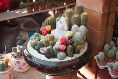 Many cactus Stock Photography