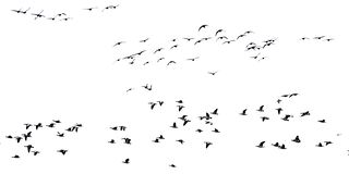 Many canada geese in flight, isolated on white - Branta canadensis. Big flock of canada geese in silhouette flying in formation, view from below, isolated on royalty free stock images