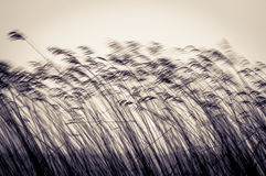 Many cane stems in motion against light sky. Royalty Free Stock Photo