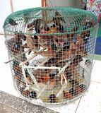 Many captive cruelty birds in little cage Stock Images