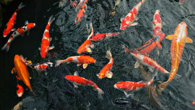 Many carp fishes Royalty Free Stock Photography