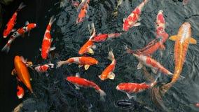 Many carp fishes royalty free stock photography