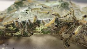 Many caterpillars Royalty Free Stock Images