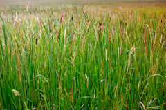 Many cattails Stock Photos