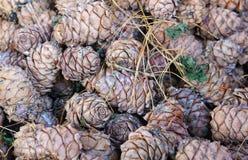 Many cedar cones Stock Image