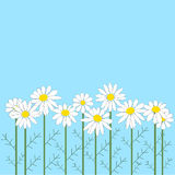 Many chamomile flowers on blue background Stock Image