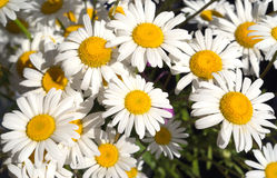 Many chamomile flowers closeup Royalty Free Stock Photos