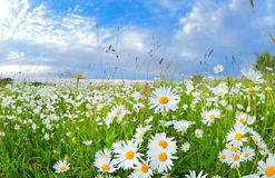 Many chamomile flowers over blue sky royalty free stock image