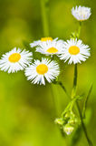 Many chamomile flowers on wide field Royalty Free Stock Photos