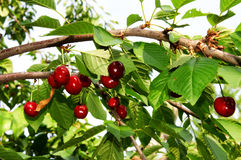 Many Cherries Royalty Free Stock Photo