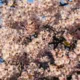 Many cherry blossom on a sunny day. Filled the whole square frame stock photo