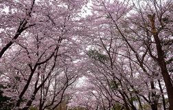 Free Many Cherry Blossom Trees Creating An Arched Path In The Forest Royalty Free Stock Photography - 142305397