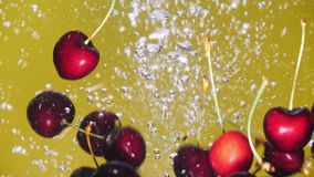 Many cherry are falling into water against yellow background. A fresh cherry are splashing into water against yellow background stock video