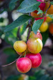 Many cherry plum on the tree Royalty Free Stock Images