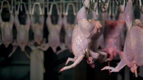 Many chicken carcasses turning on an automatic processing line. Endless line of chicken bodies turn on shackle lines with their legs up stock video