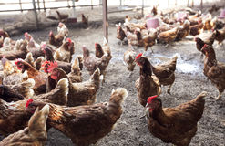 Many chicken stock photo